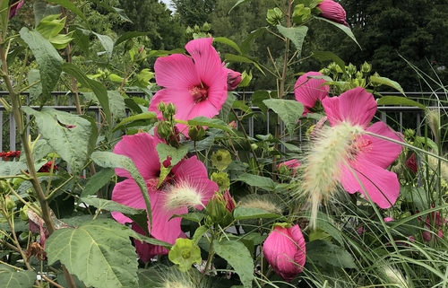 Groß3 Hibiskusblüten