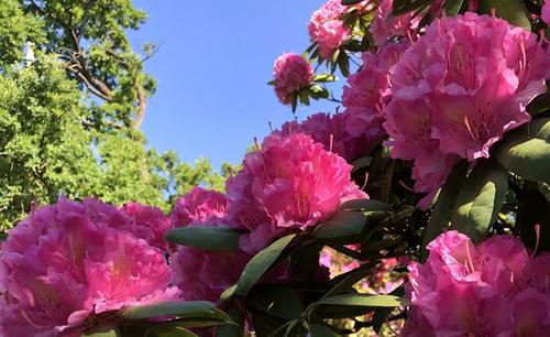 Pinke Blüten