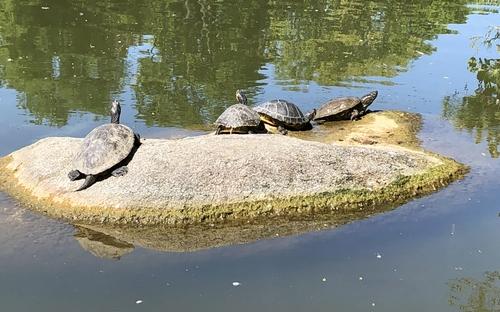 Sich sonnende Schildkröten