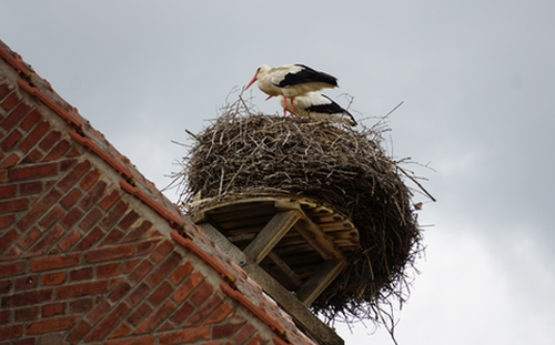 Storchenpaar auf dem Nest