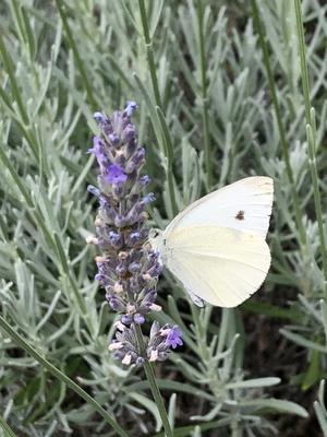 Kohlweißling auf Lavendel