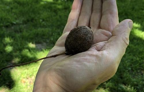 Frucht des Taschentuchbaumes