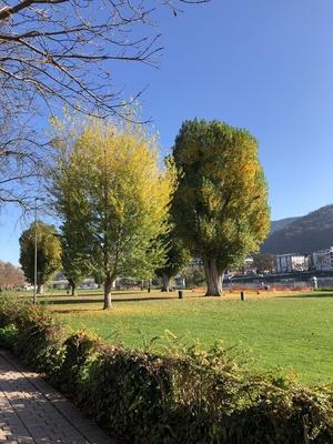 Pappeln auf der Neckarwiese