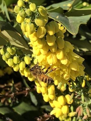 Biene am gelben Strauch