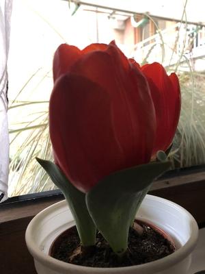 Rote Tulpen auf der Fensterbank