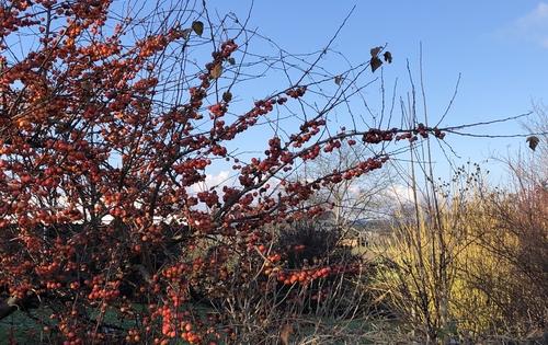 Strauch mit kleinen roten Äpfeln
