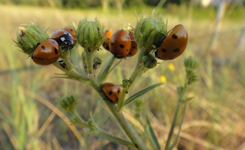 Mehrere Marienkäfer auf einer Pflanze