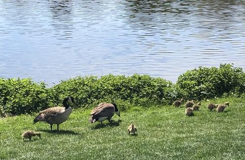 Eine komplette Nilgansfamilie mit acht jungen Gösseln