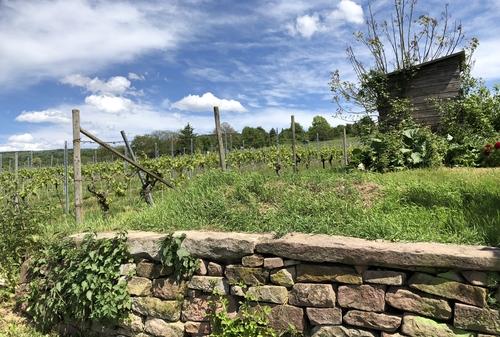 Blick auf die Weinberge mit einer Trockenmauer