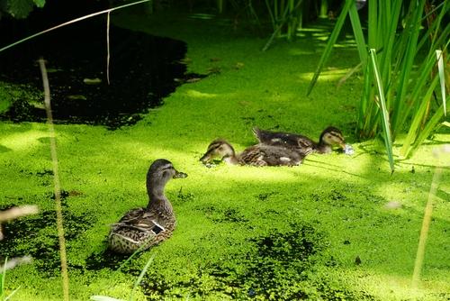 Entenmutter mit Kindern