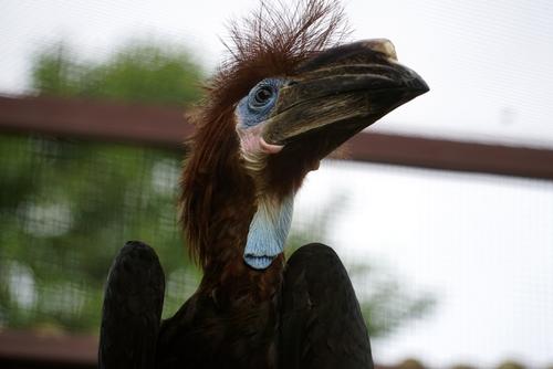 Junger Hornvogel