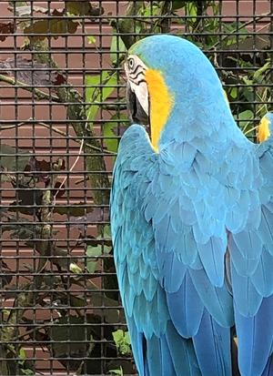 Gelbbrustara mit einem hellblauen Rückengefieder