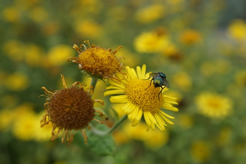 Grüne Schmeißfliege auf gelben Blumen