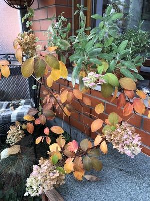 Hortensie mit buntem Herbstlaub